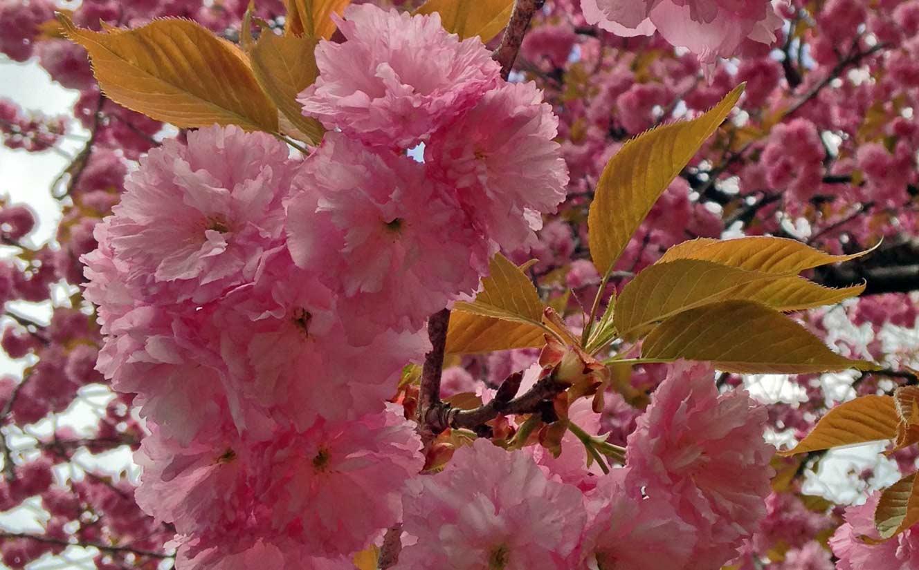 Pink Cherry Blosoms